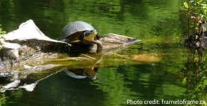Blandings turtle frametoframe